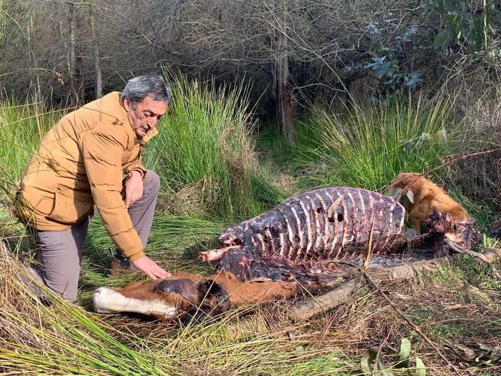 Brutales matanzas animales en Mulchén: acusan que el abigeato se descontroló