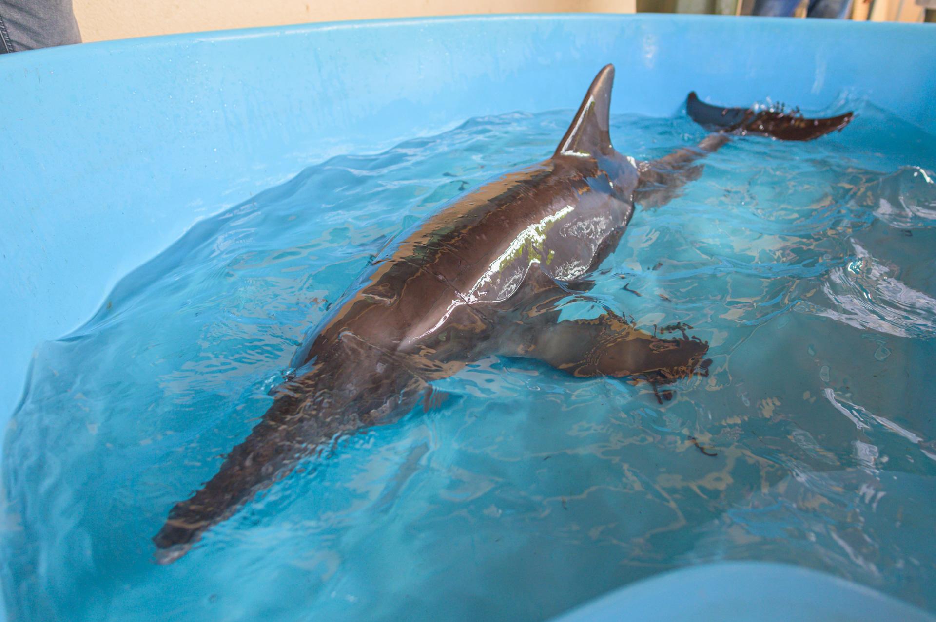 Delfín encontrado en la playa de Penco será devuelto a su hábitat