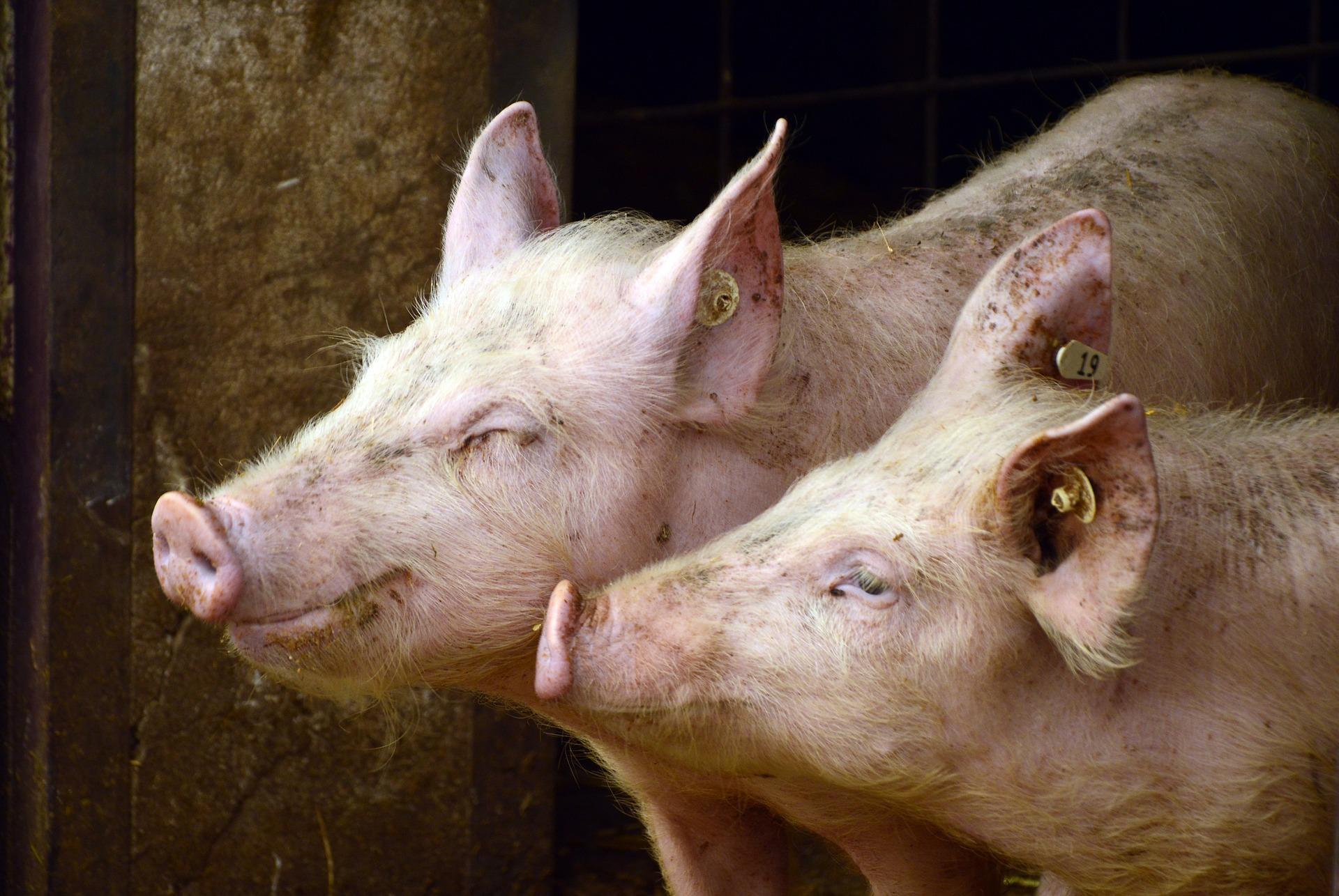 Detectan deficiencias en etiquetado de carne de cerdo: grasas, calorías y sodio
