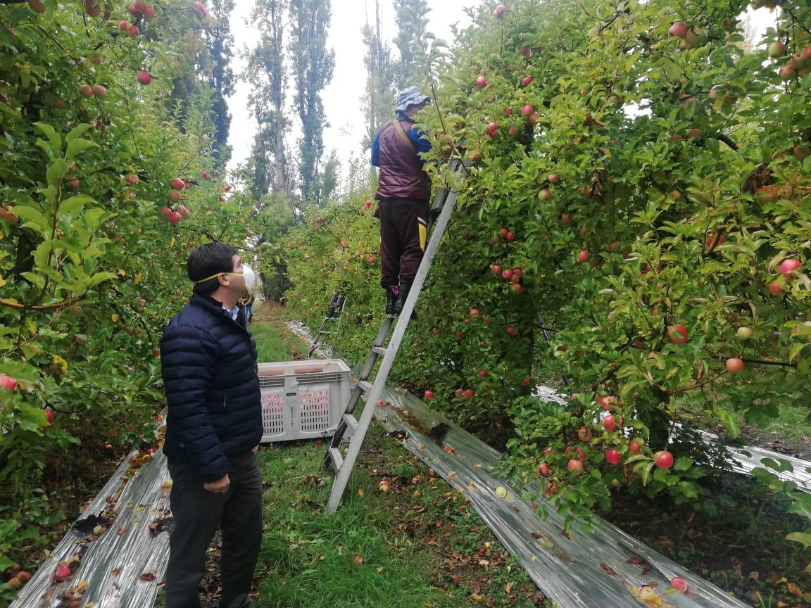Minagri verifica funcionamiento en cosecha de manzanas de Mulchén