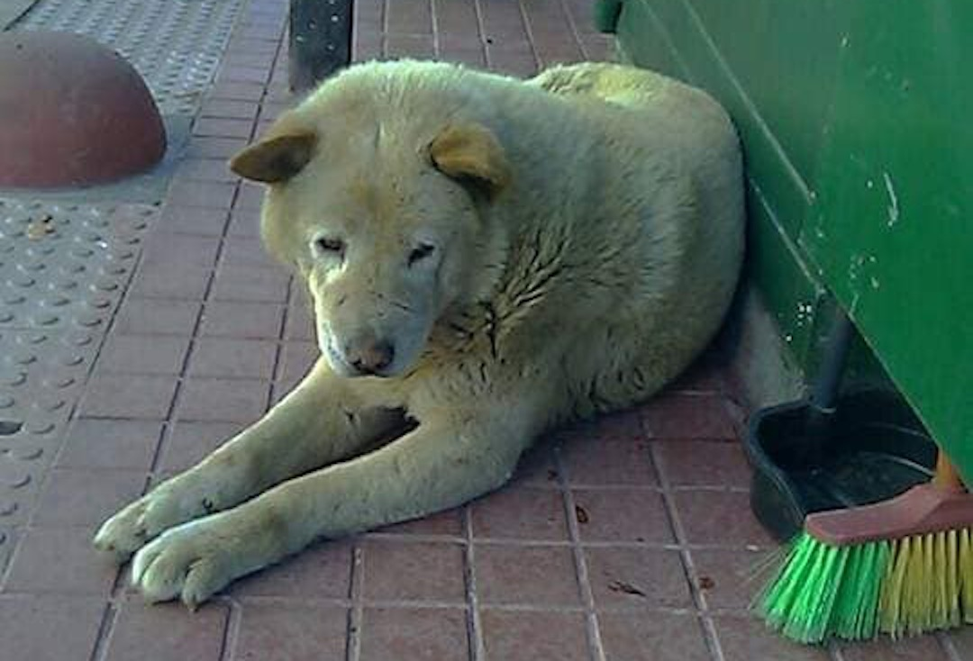 Fallece «Hachi»: El perrito de la Plaza de Armas de Los Ángeles