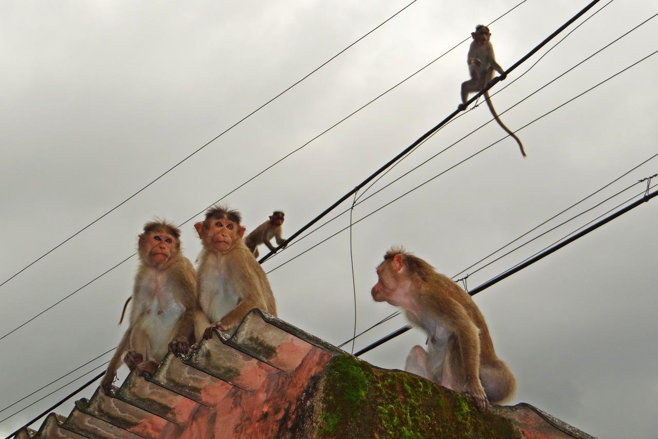 Todo puede ser peor: Monos roban muestras de Covid-19