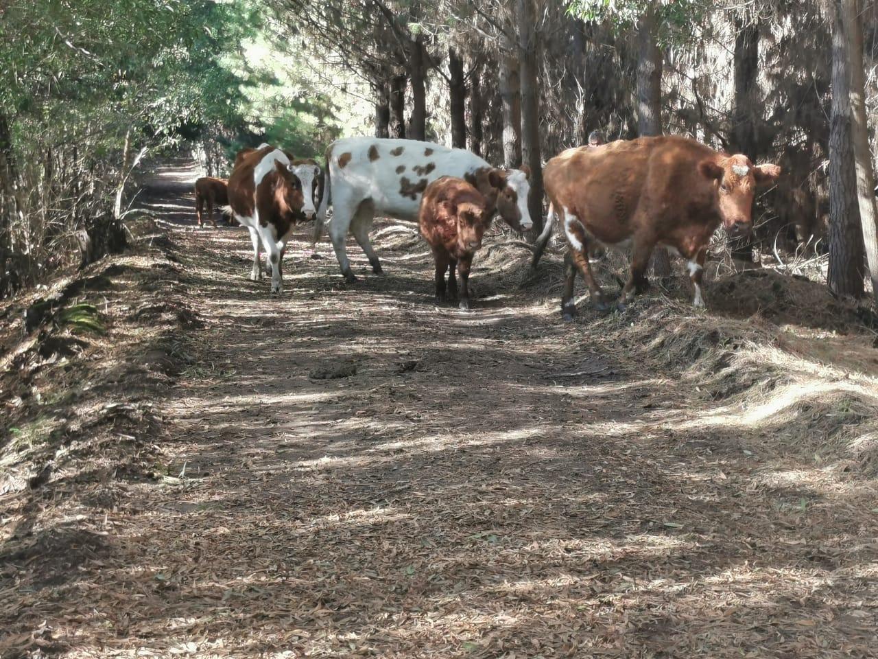 Carabineros captura a sujeto con animales robados a agricultor de Laja