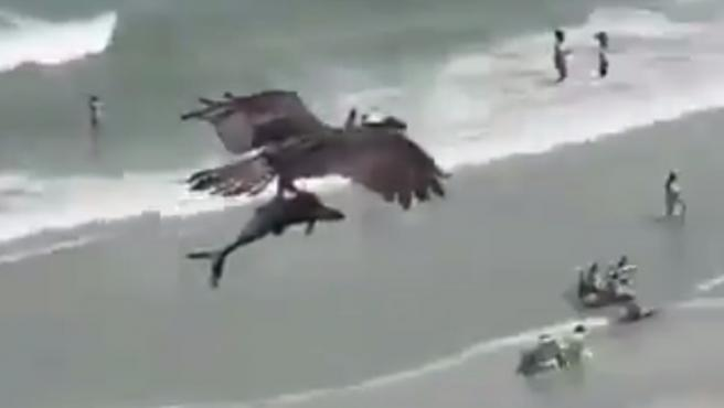 Impactante video de águila que lleva en sus garras a un tiburón