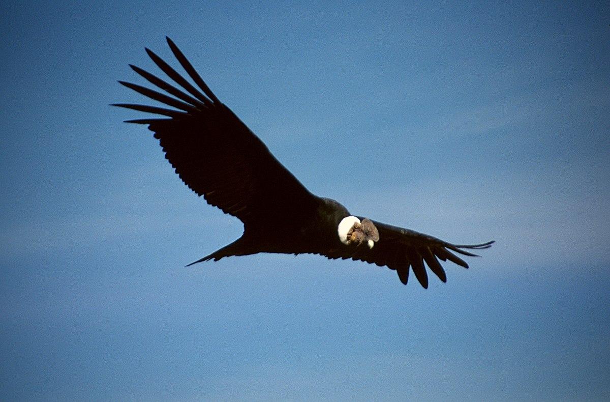 Captan increíble vuelo de bandada cóndores en Antuco