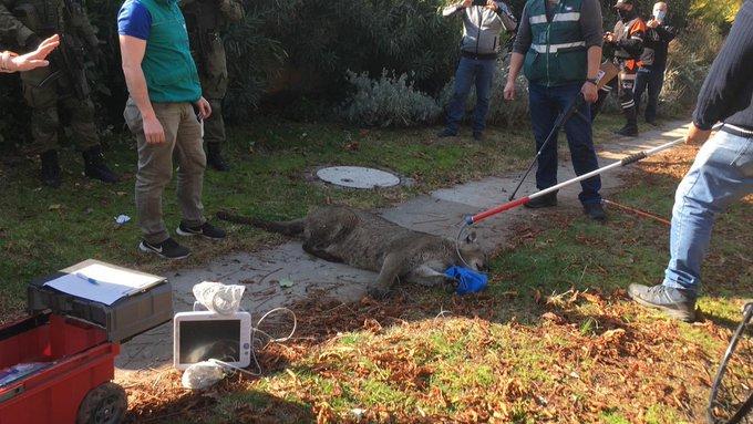 Capturan a puma tras intenso operativo en Lo Barnechea
