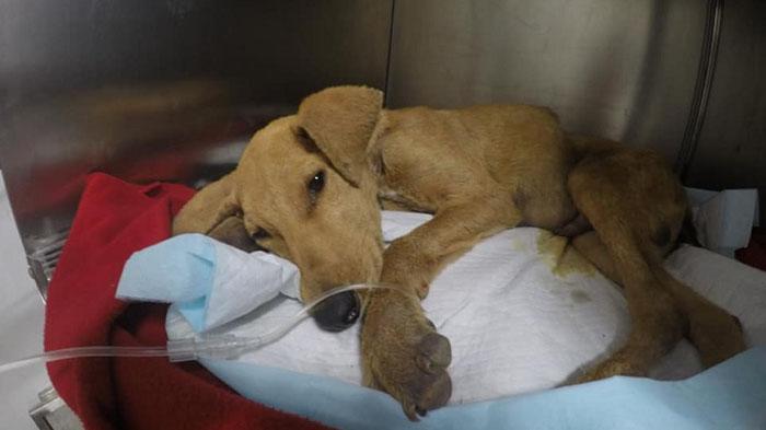Cachorro de seis meses murió en Arica con evidentes signos de agresión sexual