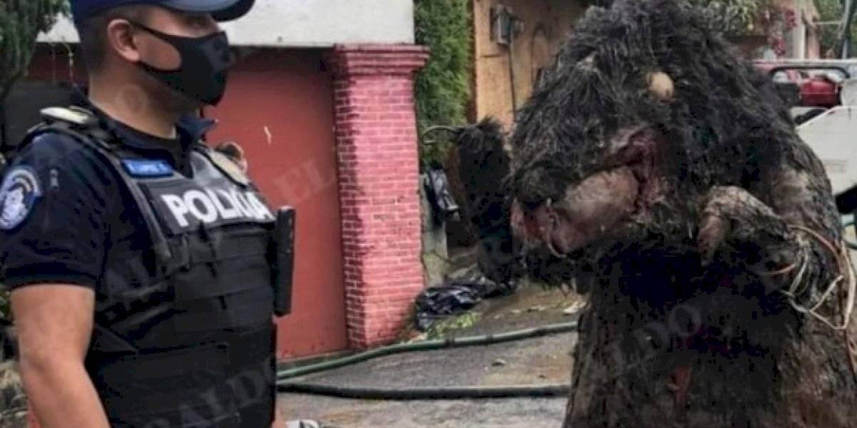 Revelan el origen de la rata gigante que apareció en una alcantarilla de México