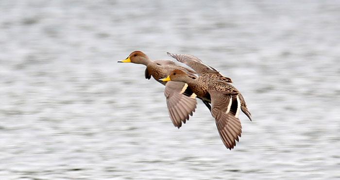 Parque Angostura inaugura sitio web para potenciar el avistamiento y conservación de aves