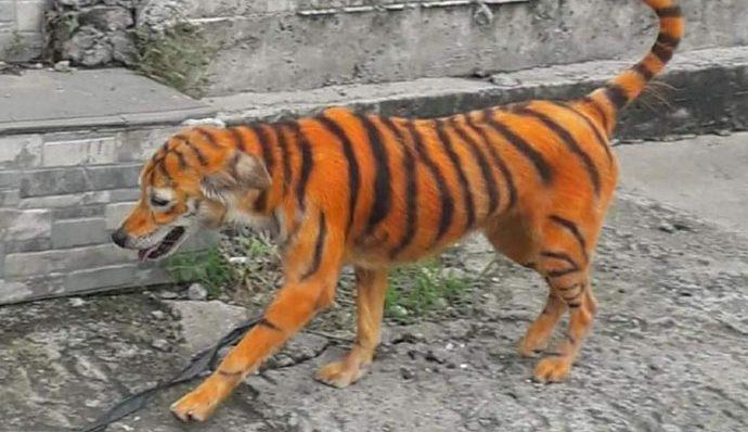 Indignación en redes sociales por perrito callejero que pintaron como un tigre