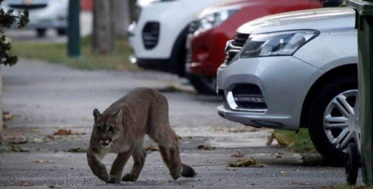 «Cuchito, cuchito»: la singular reacción de una mujer tras toparse en el camino de un Puma