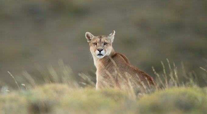 Encuentran a un Puma muerto con signos de inmersión: no se descarta participación de terceros