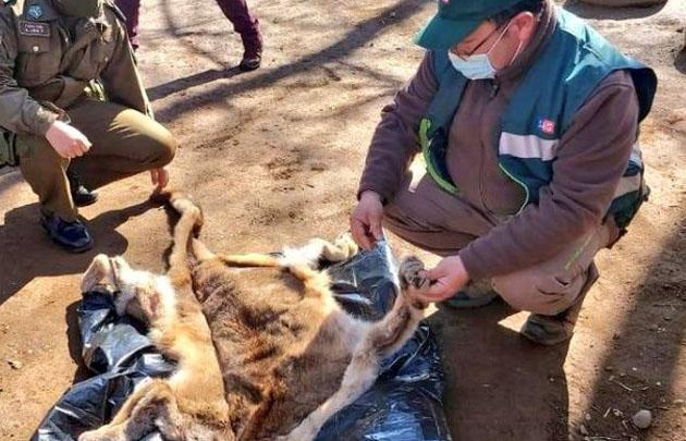 Crueldad animal: SAG de Ñuble denuncia caza y faena ilegal de un Puma