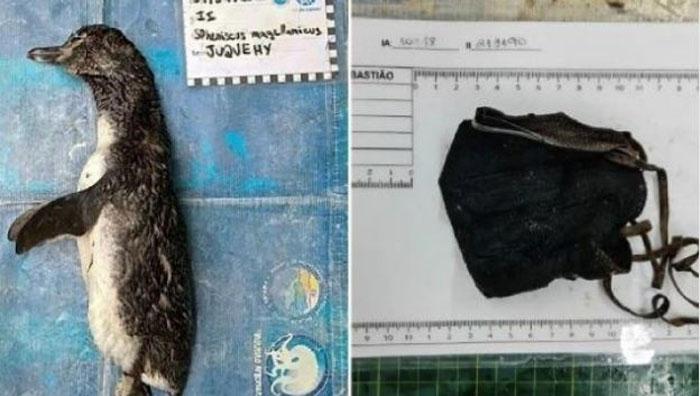 Preocupante situación: pingüino hallado muerto en una playa tenía una mascarilla en su estómago