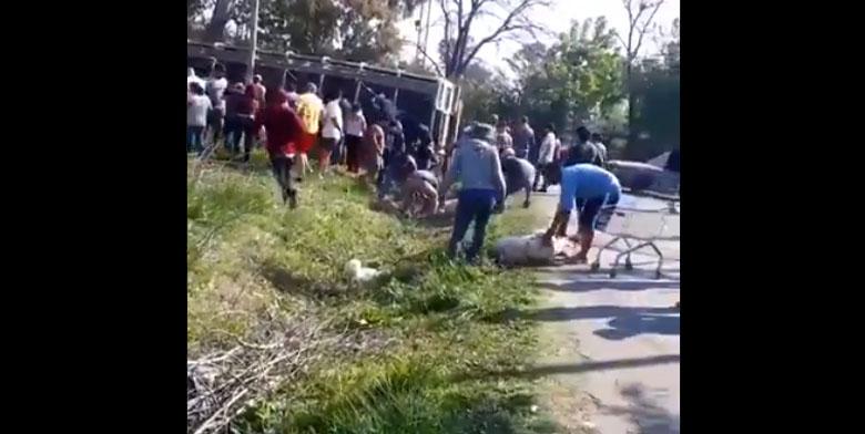 Camión llenó de cerdos volcó en Argentina: faenaron a varios en plena calle para robárselos