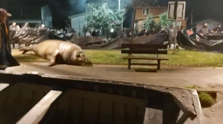Ejemplar acción: vecinos de Puerto Cisnes regresaron al mar a un elefante marino desorientado