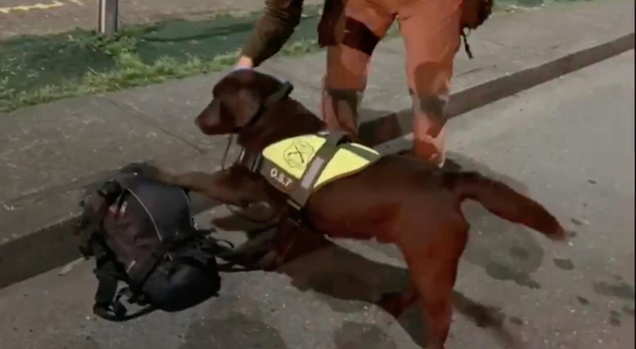 Canes del OS7 detectaron marihuana 'creepy' que llegaba Concepción
