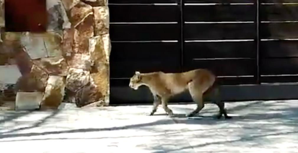 Pumas fueron avistados a metros de la casa del presidente Piñera