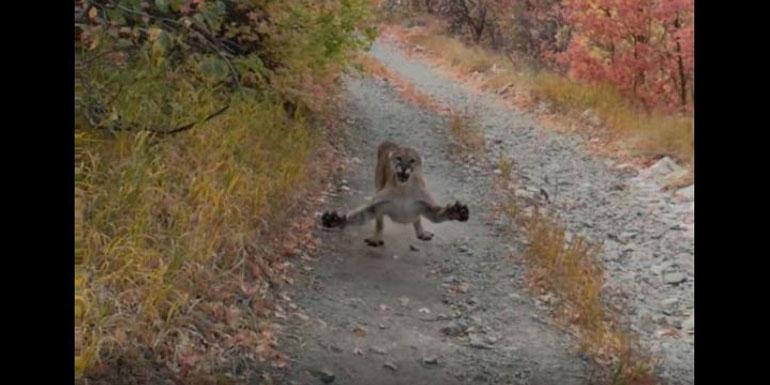 Minutos de terror: el tenso encuentro de un joven con una madre puma en plena montaña
