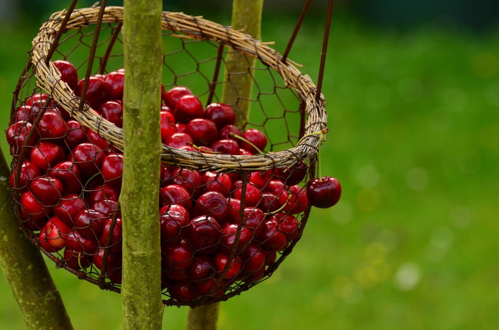 Asoex estima que cerezas aumentarán sus exportaciones casi un 36% esta temporada