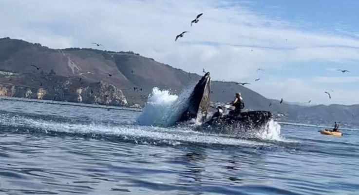 Una ballena jorobada casi se 'traga' a dos kayakistas: registro se volvió viral
