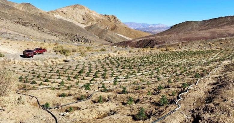 'Histórico': encuentran  enorme plantación de marihuana en pleno Desierto de Atacama
