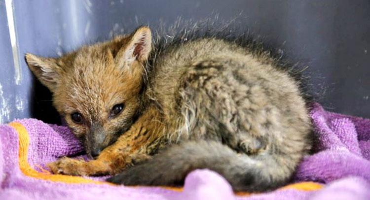 No aprenden: cachorra de zorro capturada por familia no podrá volver a su hábitat natural