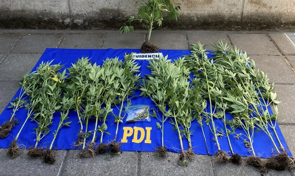 Negrete: Hombre es detenido con 26 plantas de marihuana