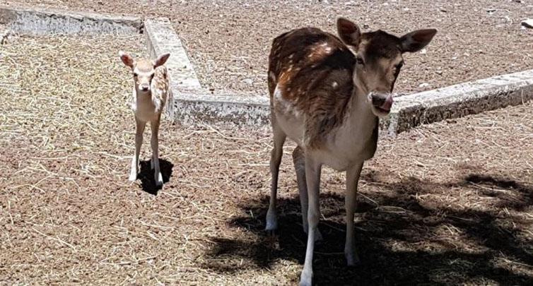 «Un símbolo de esperanza»: nacen cuatro ciervos iguales a 'Bambi' en el Parque Alessandri