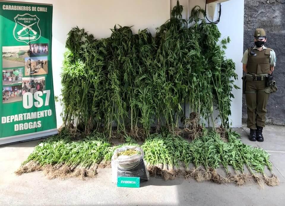 Los Ángeles: OS7 encuentra más de 160 plantas de marihuana en plantación forestal