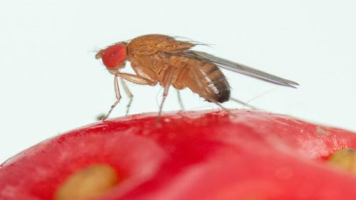 SAG confirma moscas en huertos caseros de cerezos en la provincia de Biobío