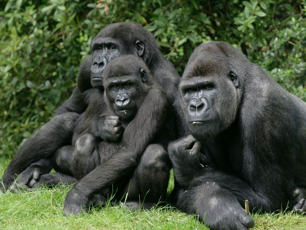 Gorilas se contagian de coronavirus en zoológico de EEUU