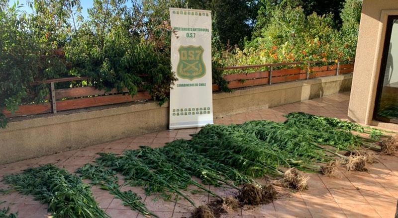 Descubren plantación camino a Reserva Nonguén: más de 20 mil dosis fueron incautadas