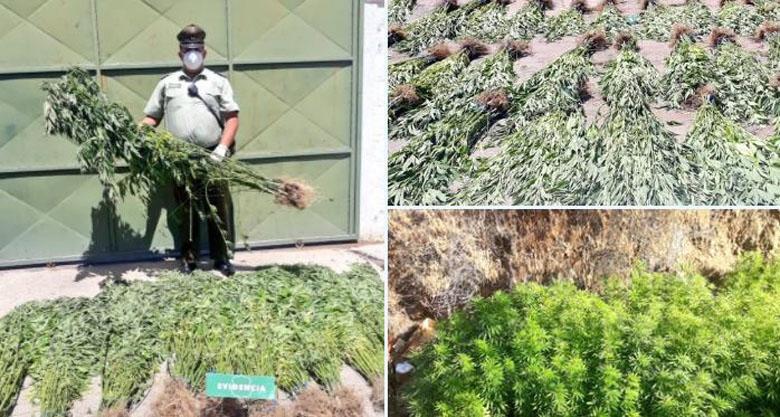 Por denuncia ciudadana: descubren plantación con más de 200 matas de marihuana