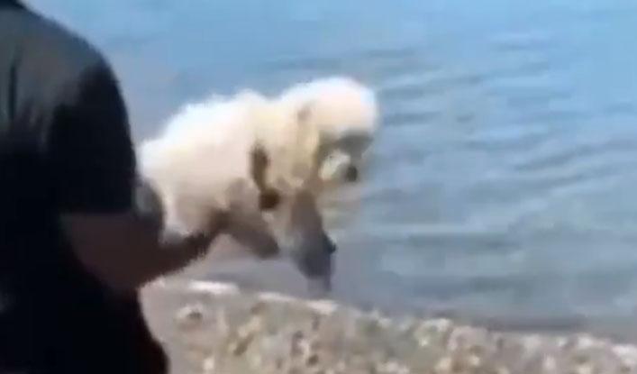 Denuncian cruel maltrato contra un poodle: sujeto lo arrojó fuertemente a laguna