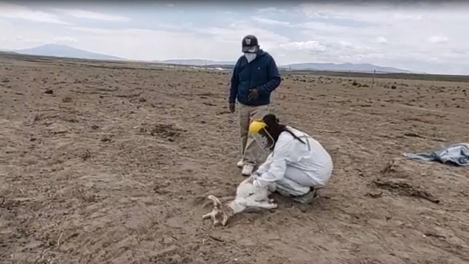 «Dicen que es el chupacabras»: ganado es atacado por un extraño ser en Colchane