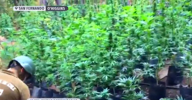 Descubren enorme cultivo de marihuana en la precordillera: más de 13 mil matas decomisadas