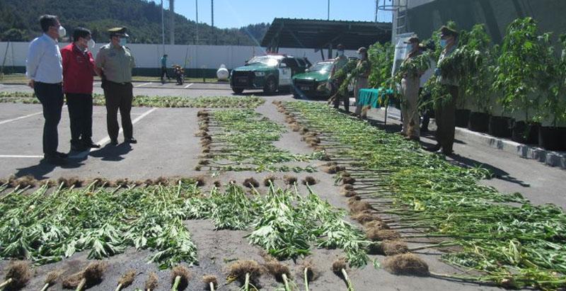Decomiso de marihuana en Nonguén: plantación sería la más grande de los últimos diez años