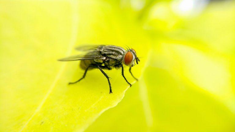Plaga de moscas afecta a Florida y Cabrero: Seremi de Salud anuncia investigación