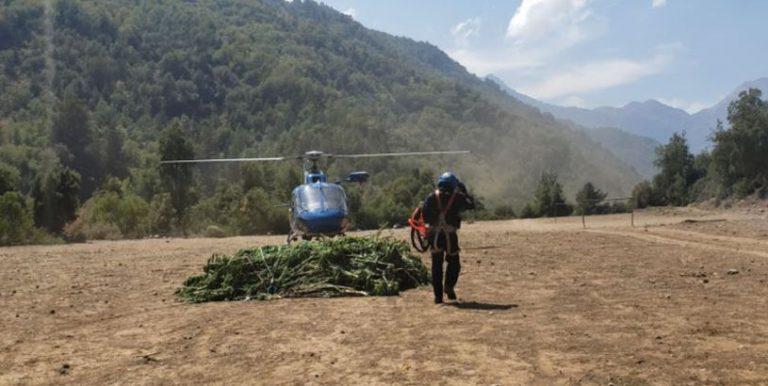 PDI encuentra más de 10 mil plantas de marihuana en Curicó: avalúo supera los 21 mil millones de pesos